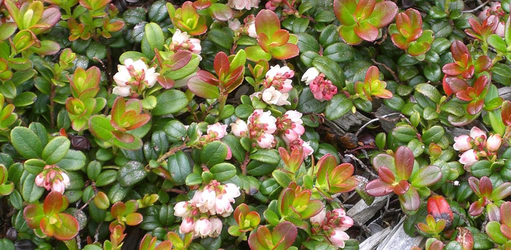 "Photo © <a href=""https://commons.wikimedia.org/wiki/File:Vaccinium_vitisidaea_flower.jpg"" target=""_blank"">Miya.m</a>"