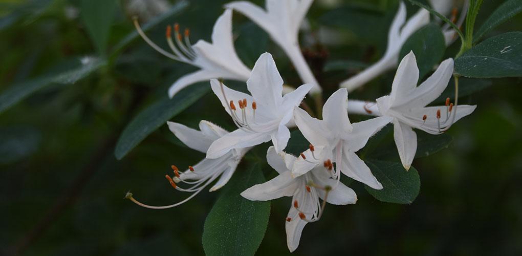 Botanique - Rhododendron 'Atlanticum Snow-Bird'