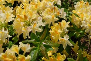 Rhododendron molle ssp. molle