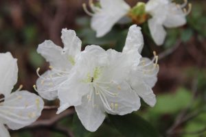 Rhododendron 'Ivory Coast'
