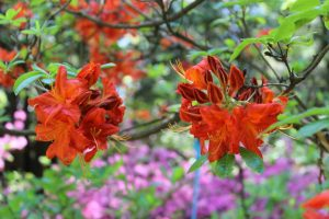 Rhododendron 'Royal Command'