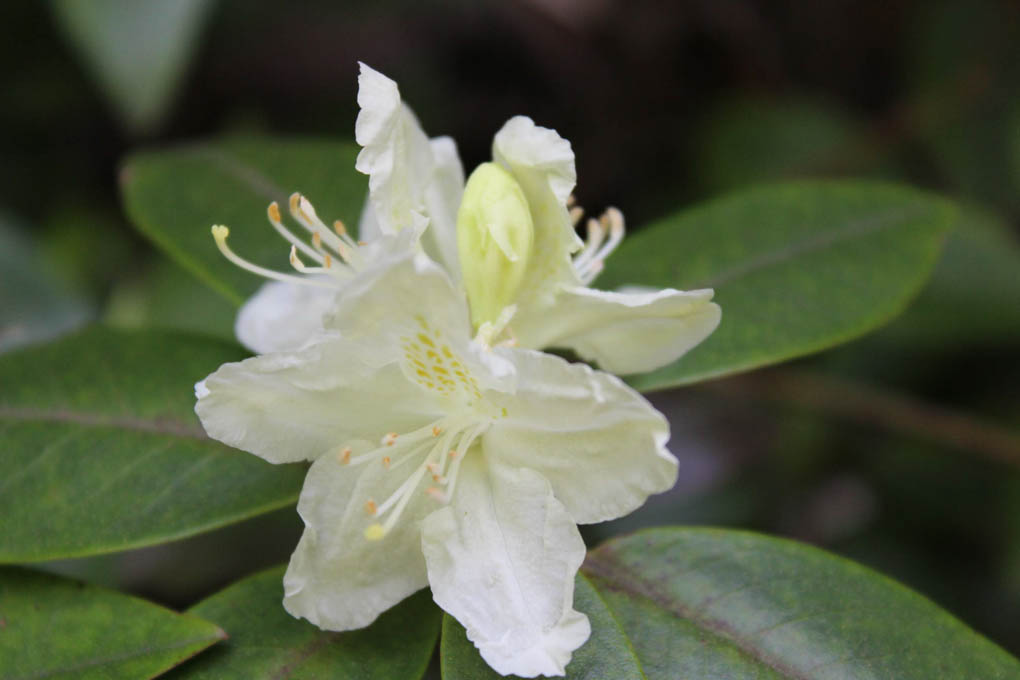 Rhododendron 'Jericho'