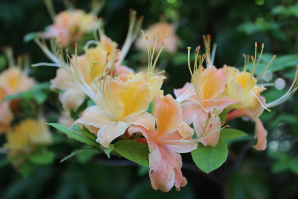 Rhododendron 'Magic'
