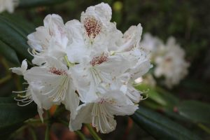 Rhododendron 'P.M.A. Tigerstedt'