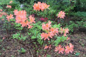 Rhododendron molle ssp. japonicum