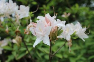 Rhododendron 'White Lights'